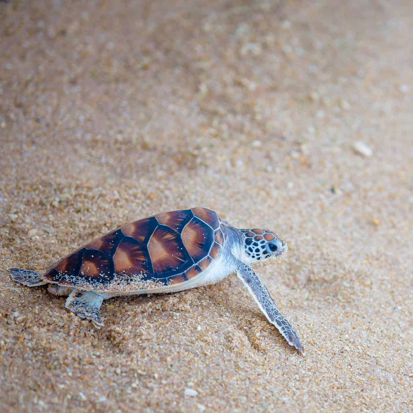 Discovery of Endangered Turtle Eggs Again at Silavadee Pool Spa Resort's Beach